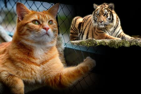 katte deler gener med tigeren