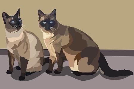To siamesiske katte