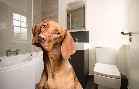Hvorfor går hunde med på toilet