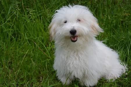 bormuldshund gode til folk der er allergiske over for hunde