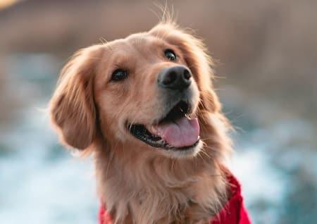 Golden retrievere er kloge hunde