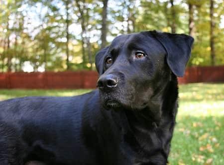 En labrador retriever er en meget klog hund