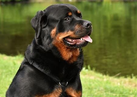 rottweiler - en klog hund