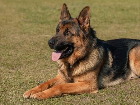 schæferhund er en klog hund